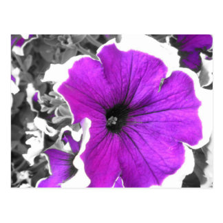 Purple Tinted Black and White Petunias Postcard