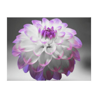Purple Tipped Dahlia Wrapped Canvas