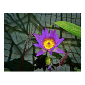 Purple Tropical Water Lily Postcard