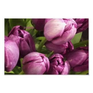 Purple Tulips jjhelene Satin 8x10 Photograph