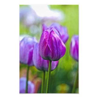 Purple Tulips Photo Art