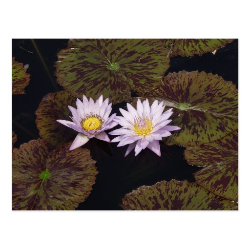Purple Water Lilies Post Cards