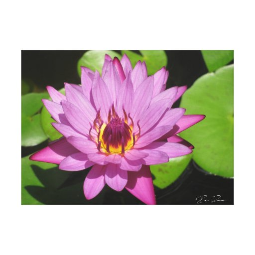 Purple Water Lily Canvas Print