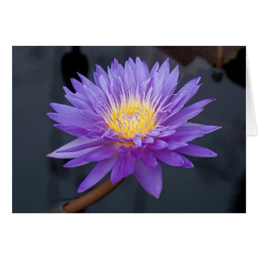 Purple Water Lily Greeting Cards