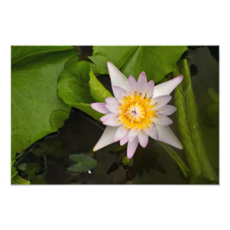 Purple Water Lily Photograph
