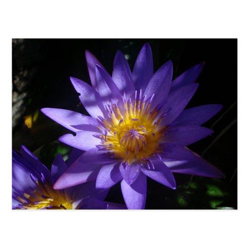 Purple Water Lily Postcard