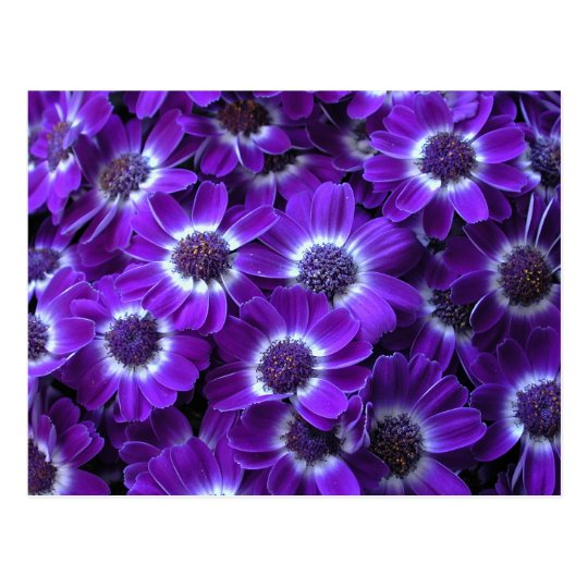 Purple White Cinerarias Postcard