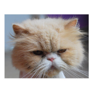 Purr-fect Persian Cat Postcard