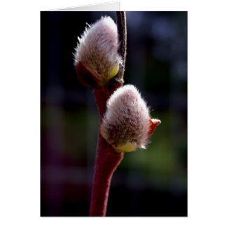 Pussywillow buds in spring card