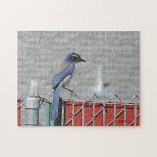 Puzzle - Western Scrub-Jay on Fence