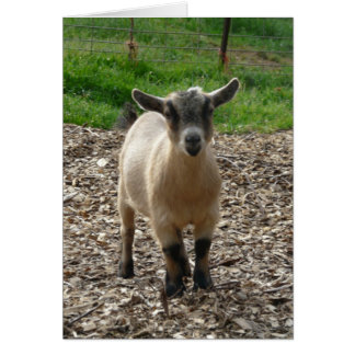 Pygmy Goat Doe Card