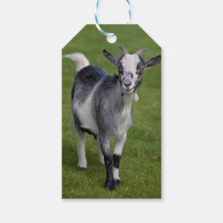 Pygmy Goat Gift Tags