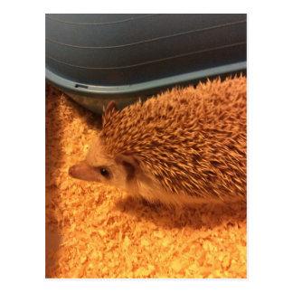 Pygmy  Hedgehog Postcard