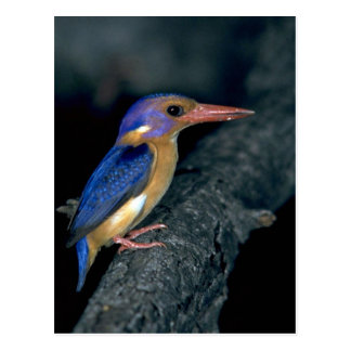 Pygmy Kingfisher Postcard