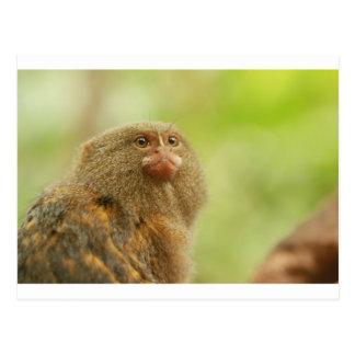 Pygmy Marmosets Postcard