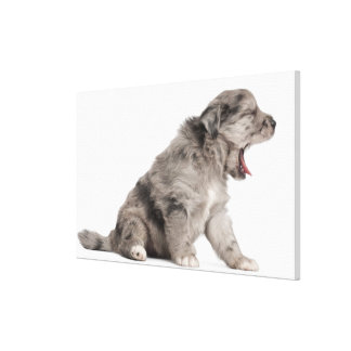 Pyrenean Shepherd puppy (4 weeks) yawning Stretched Canvas Prints