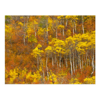 Quaking aspen grove in peak autumn color in 2 postcard