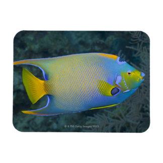 Queen Angelfish Magnet