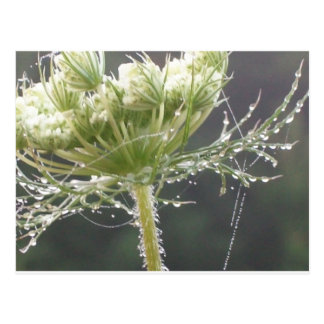 Queen Anne and Morning Dew Postcard