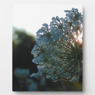 Queen Anne's Lace at Sunset Plaque