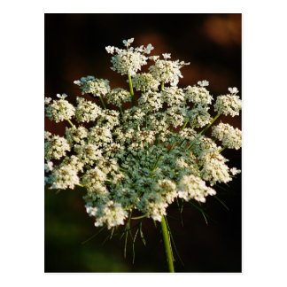 Queen Ann's Lace Postcard