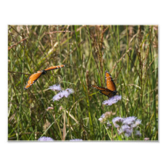 Queen Butterflies Photo Print