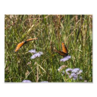 Queen Butterflies Photo Print