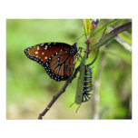 Queen Butterfly and Monarch Caterpillar Poster