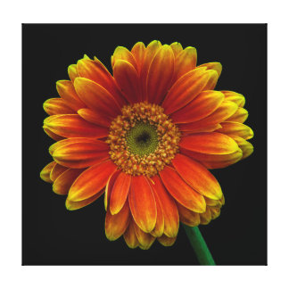 Queen of the daisies stretched canvas prints