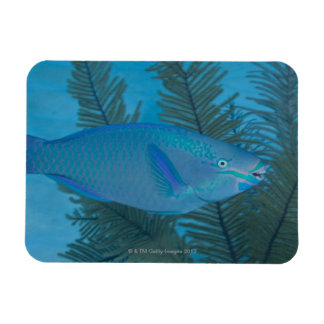 Queen Parrotfish (Scarus vetula) swimming over Magnet