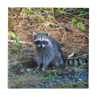 Raccoon at Point Defiance Park WA State Tile
