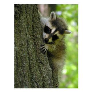 Raccoon Baby Postcard
