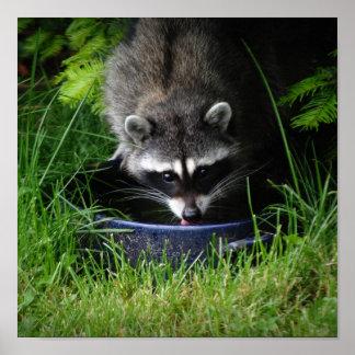 Raccoon Drinking Print