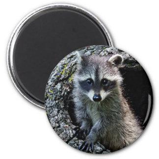 Raccoon in the Den 6 Cm Round Magnet