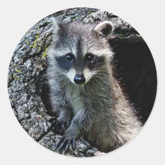 Raccoon in the Den Round Sticker