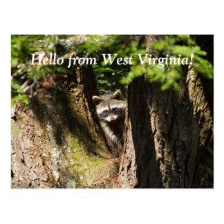 Raccoon in West Virginia Postcard