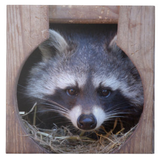 RACCOON ~ photo Jean Louis Glineur Large Square Tile