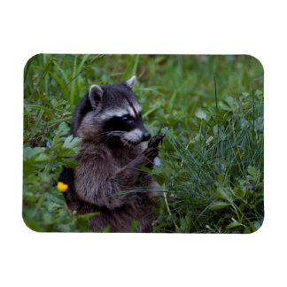 Raccoon Playing! Magnet