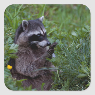 Raccoon Playing! Square Sticker