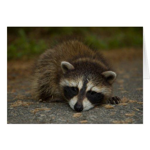Raccoon - Procyon lotor Card