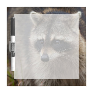 Raccoon, Procyon lotor, Florida, USA 1 Dry-Erase Board