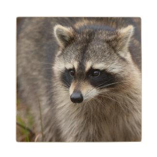 Raccoon, Procyon lotor, Florida, USA 1 Maple Wood Coaster