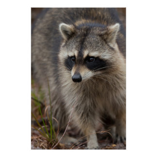 Raccoon, Procyon lotor, Florida, USA 1 Poster