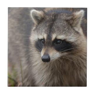 Raccoon, Procyon lotor, Florida, USA 1 Small Square Tile