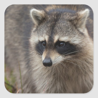 Raccoon, Procyon lotor, Florida, USA 1 Square Sticker