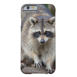Raccoon, Procyon lotor, Florida, USA 2 Barely There iPhone 6 Case
