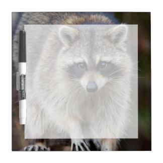 Raccoon, Procyon lotor, Florida, USA 2 Dry-Erase Whiteboard