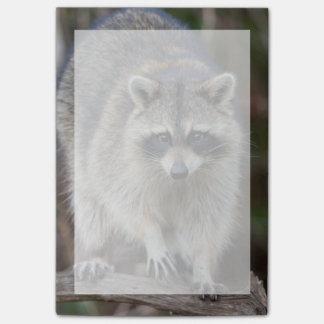 Raccoon, Procyon lotor, Florida, USA 2 Post-it® Notes