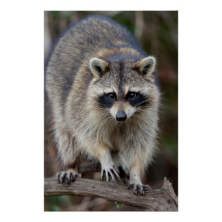 Raccoon, Procyon lotor, Florida, USA 2 Poster