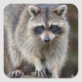 Raccoon, Procyon lotor, Florida, USA 2 Square Sticker